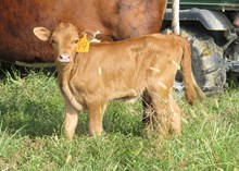 PCC Catch 22 Embryo Heifer